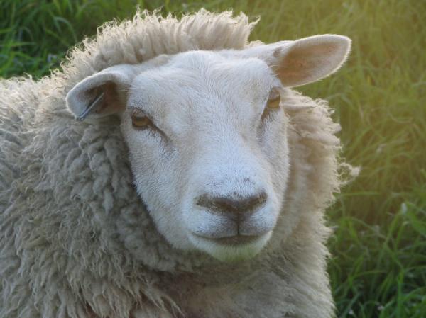 Wil ik schaapherder worden?